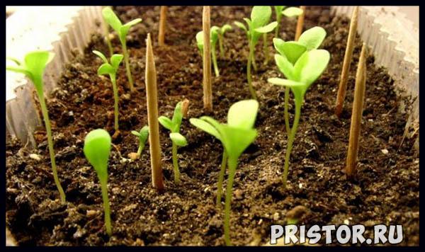 Как вырастить астру из семян в домашних условиях