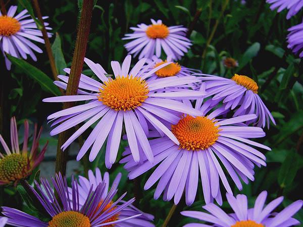 Астры фото цветов - красивые, удивительные, картинки 11