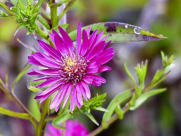 Астры фото цветов - красивые, удивительные, картинки 12