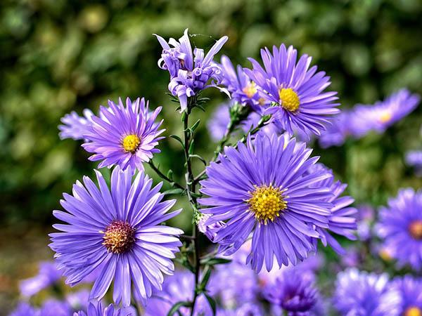 Астры фото цветов - красивые, удивительные, картинки 15