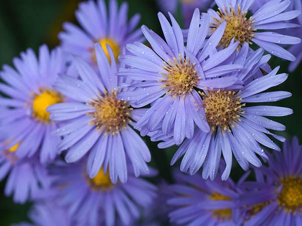 Астры фото цветов - красивые, удивительные, картинки 2