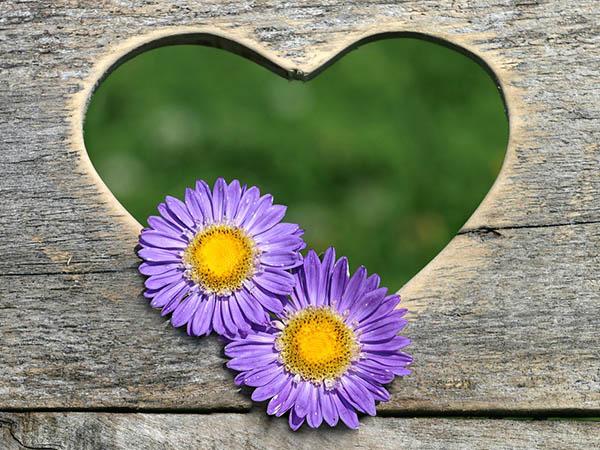 Астры фото цветов - красивые, удивительные, картинки 3