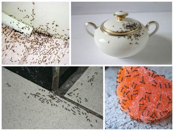 Как вывести муравьев из дома - быстро в домашних условиях 1
