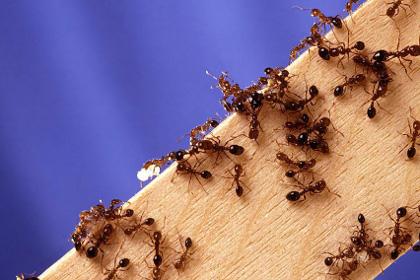 Как вывести муравьев из дома - быстро в домашних условиях 2