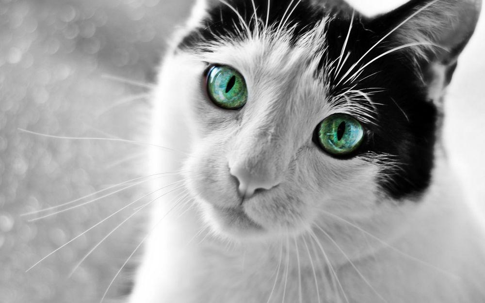 Красивые картинки и фото - белый кот с зелеными глазами 5