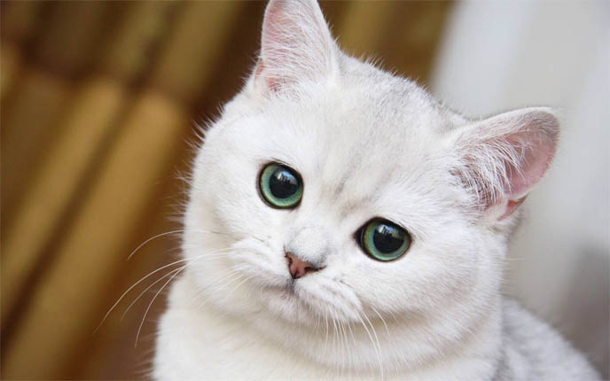 Красивые картинки и фото - белый кот с зелеными глазами 7