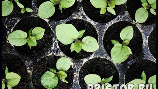 Как вырастить рассаду баклажанов в домашних условиях - уход и посадка 1