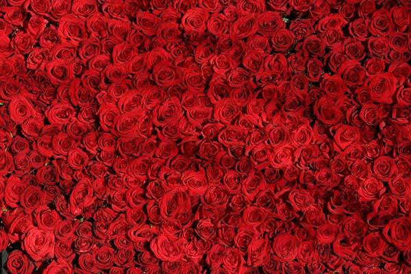 Розы - красивые фото, картинки, смотреть бесплатно 11
