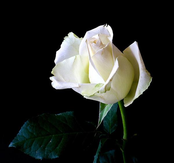 Розы - красивые фото, картинки, смотреть бесплатно 12