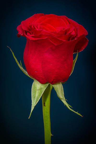 Розы - красивые фото, картинки, смотреть бесплатно 13