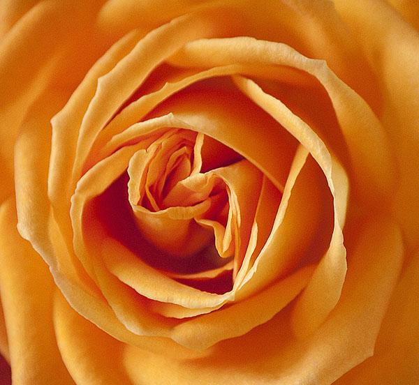 Розы - красивые фото, картинки, смотреть бесплатно 16