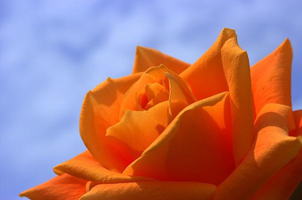 Розы - красивые фото, картинки, смотреть бесплатно 17