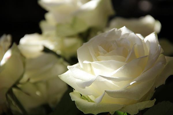 Розы - красивые фото, картинки, смотреть бесплатно 5