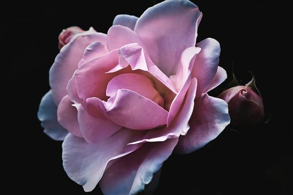 Розы - красивые фото, картинки, смотреть бесплатно 6