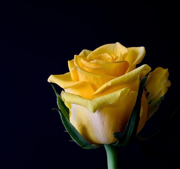 Розы - красивые фото, картинки, смотреть бесплатно 8