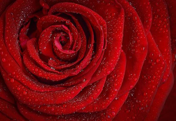 Розы - красивые фото, картинки, смотреть бесплатно 9