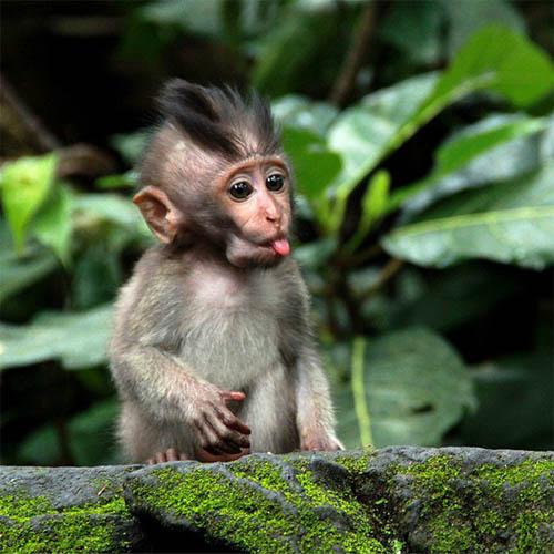 Фото обезьяны - смешные, веселые, ржачные, прикольные 11