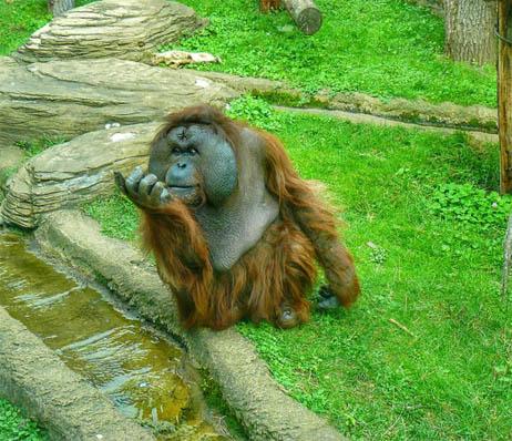 Фото обезьяны - смешные, веселые, ржачные, прикольные 12