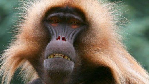 Фото обезьяны - смешные, веселые, ржачные, прикольные 16
