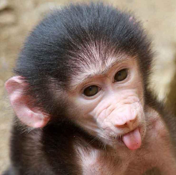 Фото обезьяны - смешные, веселые, ржачные, прикольные 5