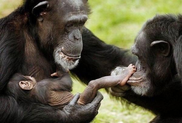 Фото обезьяны - смешные, веселые, ржачные, прикольные 9