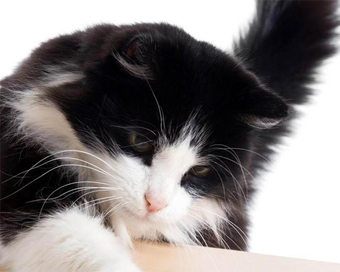Черно-белые коты - фото, картинки, красивые, прикольные 10
