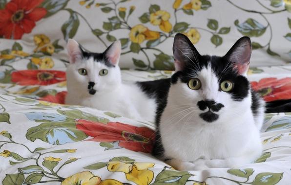 Черно-белые коты - фото, картинки, красивые, прикольные 11