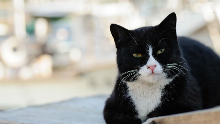 Черно-белые коты - фото, картинки, красивые, прикольные 3