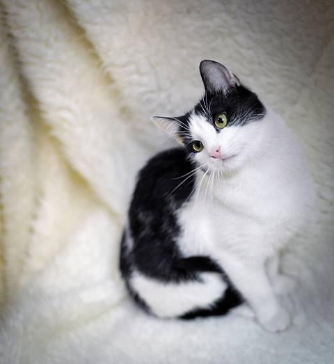 Черно-белые коты - фото, картинки, красивые, прикольные 5