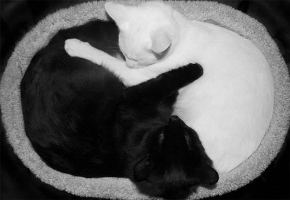 Черно-белые коты - фото, картинки, красивые, прикольные 6