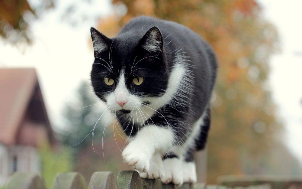 Черно-белые коты - фото, картинки, красивые, прикольные 7