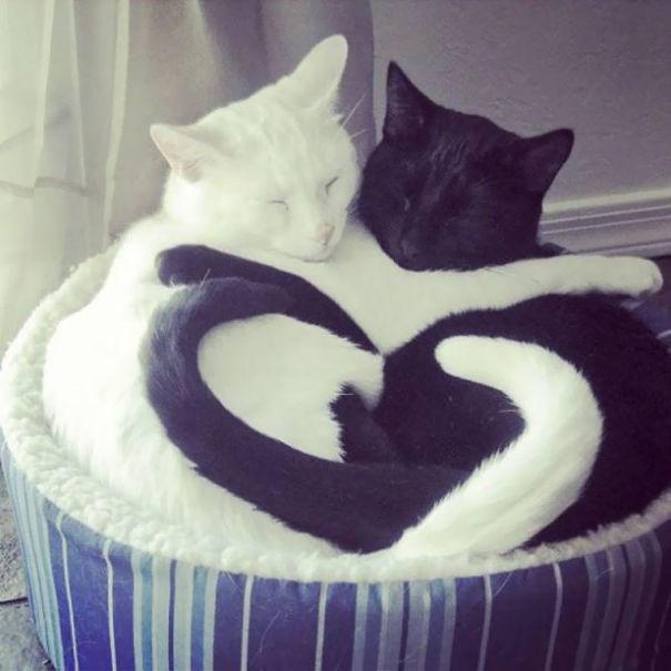 Черно-белые коты - фото, картинки, красивые, прикольные 8