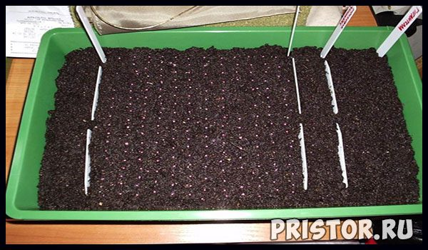 Как вырастить клубнику из семян в домашних условиях - уход и посадка 1