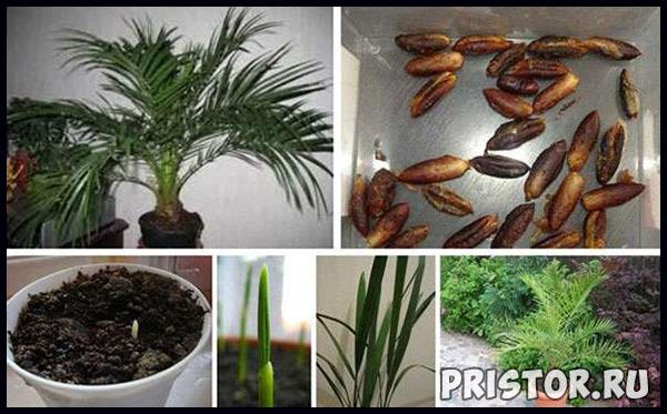 Выращивания финика из косточек в домашних условиях