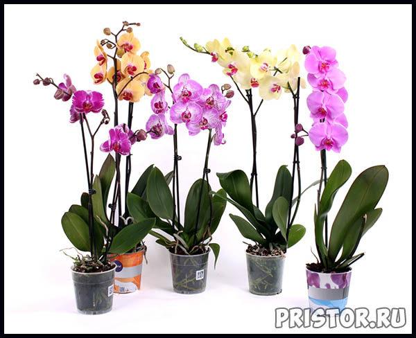 Phalaenopsis уход в домашних условиях