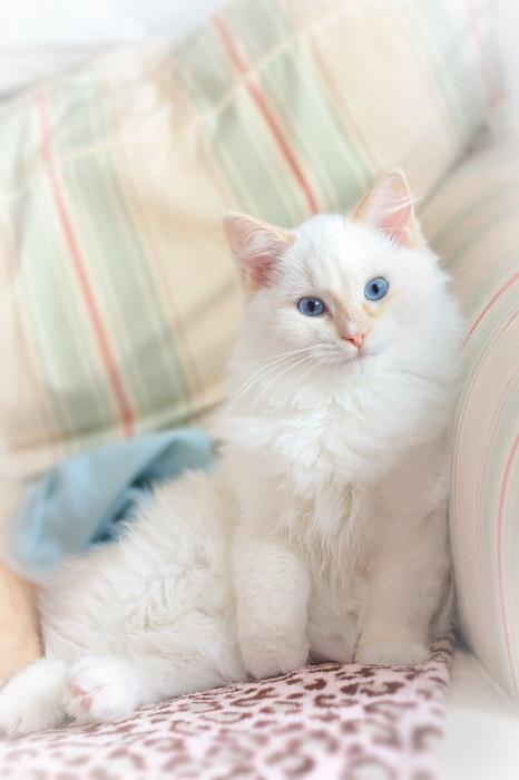 Белый кот с голубыми глазами - красивые фото, картинки, смотреть 10
