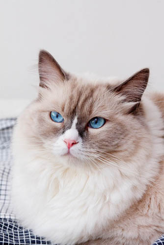 Белый кот с голубыми глазами - красивые фото, картинки, смотреть 12
