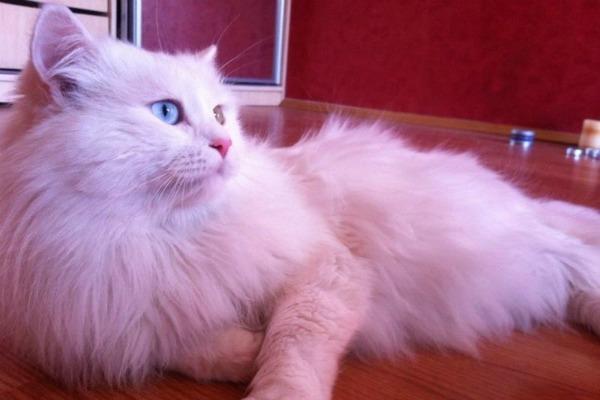 Белый кот с голубыми глазами - красивые фото, картинки, смотреть 13