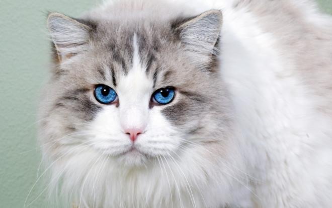 Белый кот с голубыми глазами - красивые фото, картинки, смотреть 14