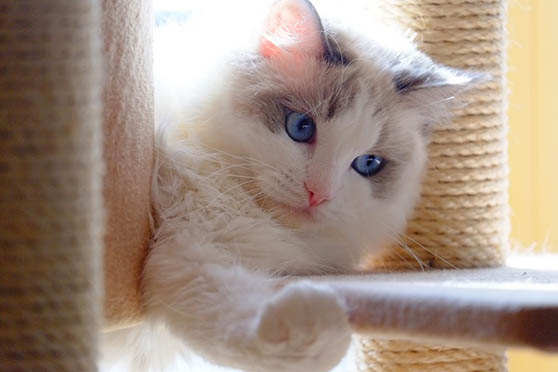 Белый кот с голубыми глазами - красивые фото, картинки, смотреть 16