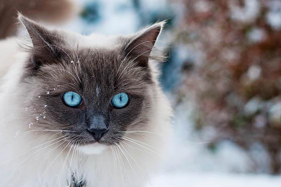 Белый кот с голубыми глазами - красивые фото, картинки, смотреть 19