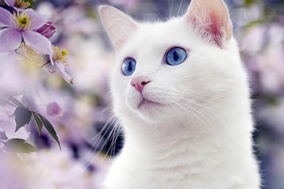 Белый кот с голубыми глазами - красивые фото, картинки, смотреть 24