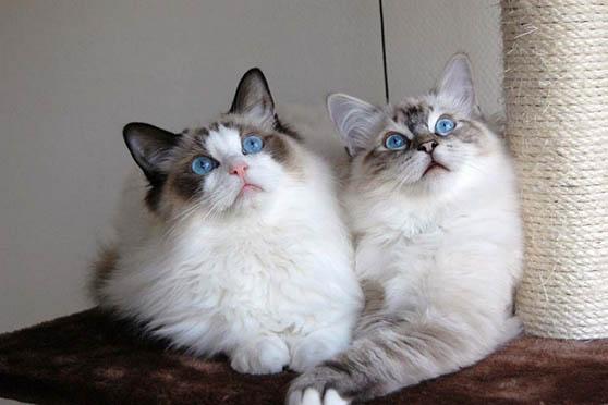 Белый кот с голубыми глазами - красивые фото, картинки, смотреть 3