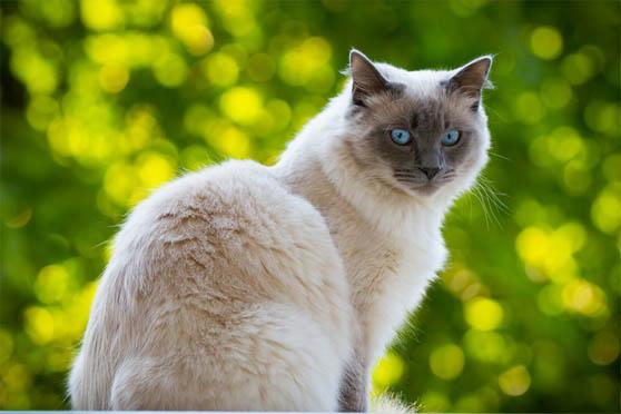 Белый кот с голубыми глазами - красивые фото, картинки, смотреть 6
