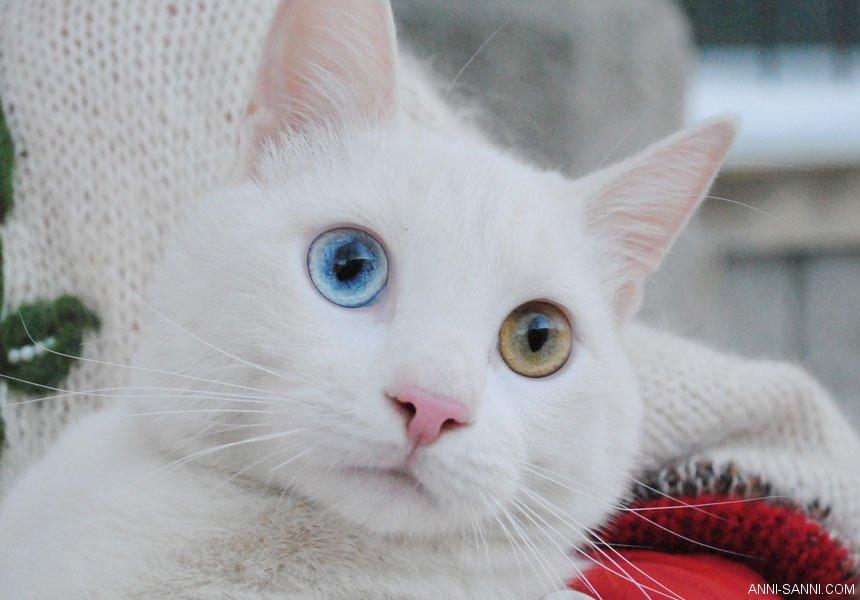 Белый кот с разными глазами - смотреть фото, картинки, бесплатно 11