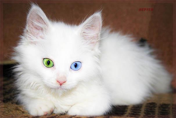 Белый кот с разными глазами - смотреть фото, картинки, бесплатно 5