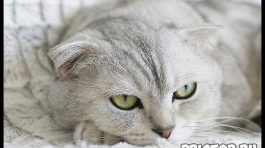 Какую породу кошек выбрать для ребенка - лучшие породы кошек 4