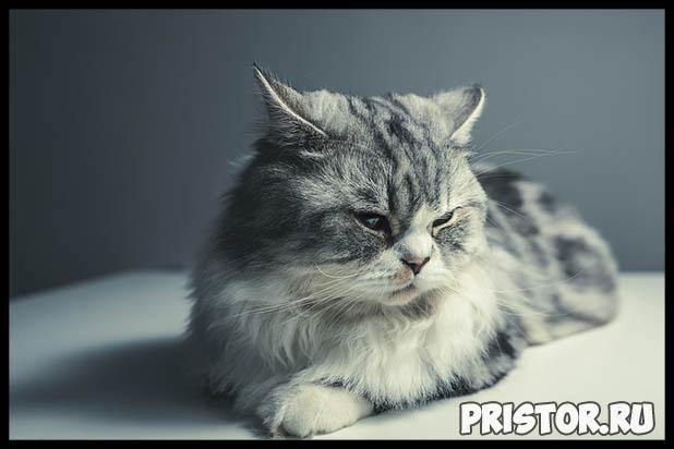 Какую породу кошек выбрать для ребенка - лучшие породы кошек 6