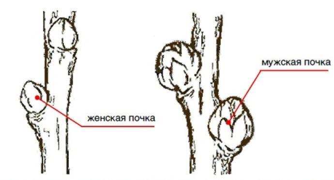 Как отличить облепиху мужскую от женской, главные различия 1