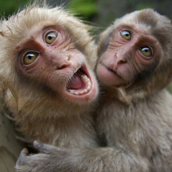 Картинки и фото обезьян - приколы, юмор, смех, с надписями 9